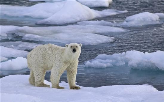 微软发布Windows 7官方主题《北极熊》
