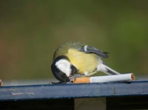 为防止寄生虫滋生墨麻雀用烟头筑巢