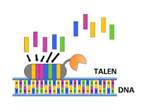 6.基因组的精密工程